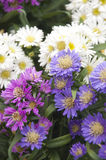 A beautiful bunch of Asters Royalty Free Stock Image