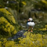 Colorful Atlantic Puffin or Comon Puffin Fratercula Arctica in N. Beautiful Atlantic Puffin or Comon Puffin Fratercula Arctica in Northumberland England on Royalty Free Stock Photography