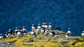 Colorful Atlantic Puffin or Comon Puffin Fratercula Arctica in N. Beautiful Atlantic Puffin or Comon Puffin Fratercula Arctica in Northumberland England on Stock Image