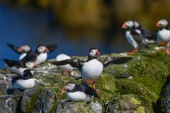 Colorful Atlantic Puffin or Comon Puffin Fratercula Arctica in N. Beautiful Atlantic Puffin or Comon Puffin Fratercula Arctica in Northumberland England on Stock Photos