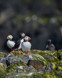 Colorful Atlantic Puffin or Comon Puffin Fratercula Arctica in N. Beautiful Atlantic Puffin or Comon Puffin Fratercula Arctica in Northumberland England on Stock Photography