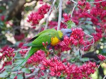 Colorful australian bird Stock Photography