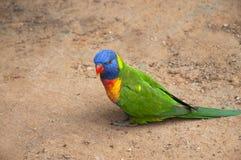 Colorful Australian Parrot Stock Photos