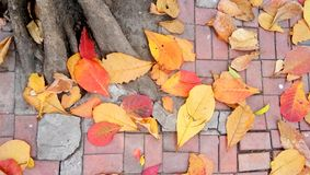 Colorful of autum. Dried leaves was fall from the tree. It is a romantic backgroud royalty free stock photos