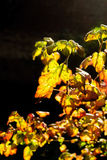 Colorful autum leaves in backlight Royalty Free Stock Photo