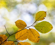 Colorful Autum leaves of Beech Royalty Free Stock Photography