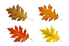 Free Colorful Autum Leaves - Isolated On White Background With Clipping Path Royalty Free Stock Images - 130597309