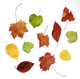 Colorful autumn. Selection of colorful autumn leaves on white background stock photography