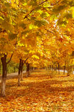 Colorful autumn avenue Royalty Free Stock Images