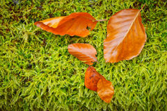 Colorful autumn background. Colorful autumn foliage on the moss background Stock Photos