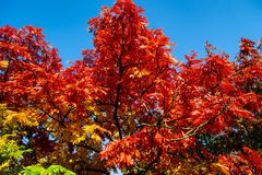 Colorful autumn background, Ashberry tree. royalty free stock photos