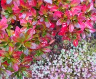 Colorful autumn background. Bright pink leaves of azalea in the stock images
