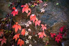 Colorful autumn background clamberer leaves on rock royalty free stock image