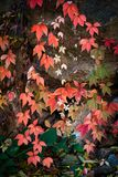 Colorful autumn background clamberer leaves on rock stock photos