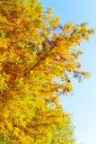 Colorful autumn Bald Cypress tree Royalty Free Stock Images