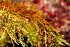Colorful autumn Bald Cypress tree Royalty Free Stock Photography