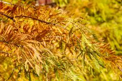 Colorful autumn Bald Cypress tree Stock Photography