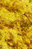 colorful autumn Bald Cypress tree Stock Photos