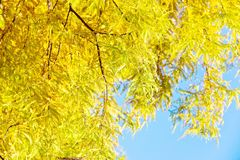 Colorful autumn Bald Cypress tree Royalty Free Stock Image