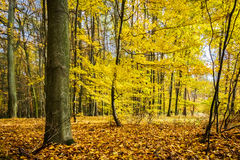 Colorful autumn in beech forest Stock Image
