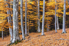Colorful autumn in the beech forest Stock Photos