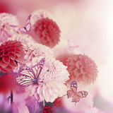 Colorful autumn chrysanthemums Royalty Free Stock Photography