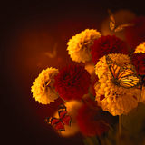 Colorful autumn chrysanthemums Stock Image