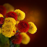 Colorful autumn chrysanthemums with flares Stock Images