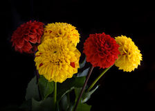 Colorful autumn chrysanthemums with flares Stock Photo