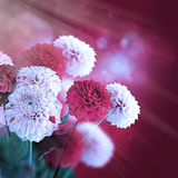 Colorful autumn chrysanthemums with flares Stock Photos