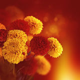 Colorful autumn chrysanthemums with flares Stock Photography