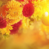 Colorful autumn chrysanthemums Royalty Free Stock Photos