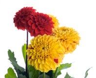 Colorful autumn chrysanthemums Stock Photos