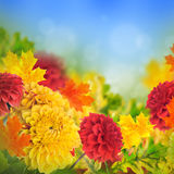Colorful autumn chrysanthemums Stock Image