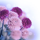 Colorful autumn chrysanthemums Stock Images