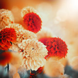 Colorful autumn chrysanthemums Royalty Free Stock Image