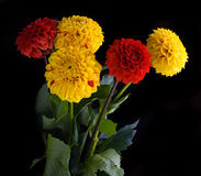 Colorful autumn chrysanthemums Stock Photo