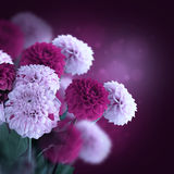 Colorful autumn chrysanthemums Stock Photography