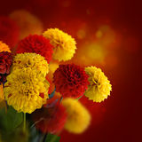 Colorful autumn chrysanthemums Royalty Free Stock Photo