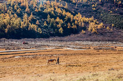Colorful autumn. Daocheng, Sichuan , China - October 22,2008 : Chinese porter with horse walking in autumn forest in Yading national level reserve in Daocheng Royalty Free Stock Images