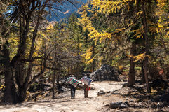 Colorful autumn. Daocheng, Sichuan , China - October 21,2008 : Chinese porter walking in autumn forest in Yading national level reserve in Daocheng, Sichuan Stock Photos