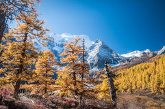 Colorful autumn. Daocheng, Sichuan , China - October 23,2008 : Chinese tourist visting autumn forest in Yading national level reserve in Daocheng, Sichuan Stock Images