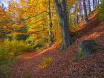 Colorful autumn deciduous beech tree and spruce tree forest grou Stock Image