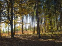 Colorful autumn deciduous beech tree and spruce tree forest grou Stock Photos