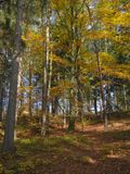 Colorful autumn deciduous beech tree and spruce tree forest grou Royalty Free Stock Images