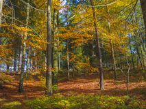 Colorful autumn deciduous beech tree and spruce tree forest grou Stock Images