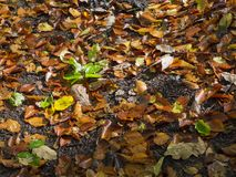 Colorful autumn fallen wet beech leaves on forest ground in morn Stock Photos