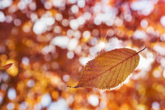 Colorful Autumn. Falling autumn leaf against blur forest background Royalty Free Stock Image
