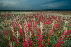 Colorful autumn field. Autumn field with colorful cottony plants under gloomy sky stock image
