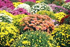 Colorful autumn flower Stock Photography